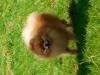 Trpasličí špic oranžový - DARVIN MARIADOLF 1625558549