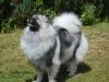 Vlčí špic vlkosivý - CAILLEY Ejmi - LU 605093711