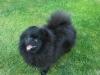 Trpasličí špic čierny - AKATSUKI Call me the Breeze 1794701594
