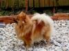 Malý špic oranžový - BELLA RINORA ROSSO PERLA 115418443