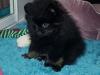 Malý špic black and tan - Ginger Fluffy honey 628764063