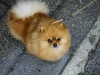 Malý špic oranžový - FAITHN EBONY Fluffy honey 1164889966