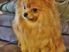 Malý špic oranžový - FAITHN EBONY Fluffy honey 487532524