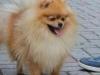 Trpasličí špic oranžový - Alma TYBELI 1467030653