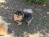 Malý špic black and tan - I LOVE YOU MINNIE ME FLUFFY HONEY 2080446441