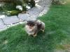 Malý špic black and tan - I LOVE YOU MINNIE ME FLUFFY HONEY 980564960